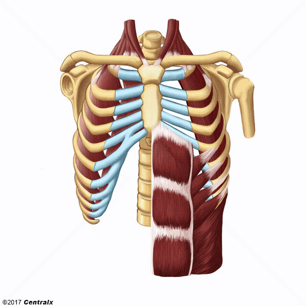 Thoracic Wall Atlas Of Human Anatomy Centralx