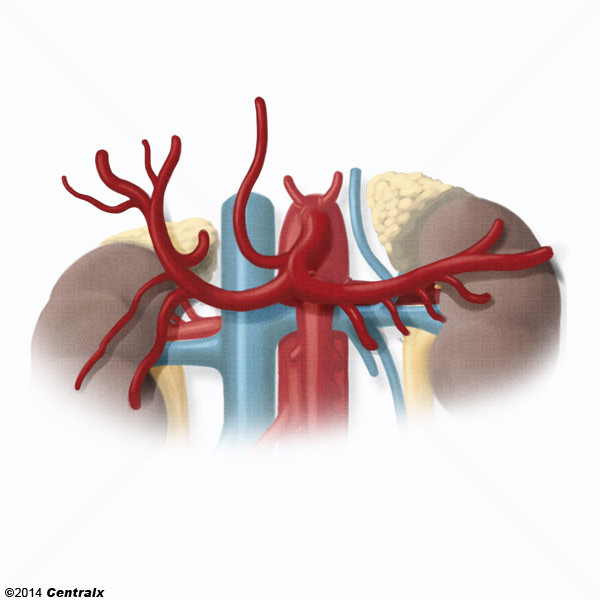 Hepatic Artery