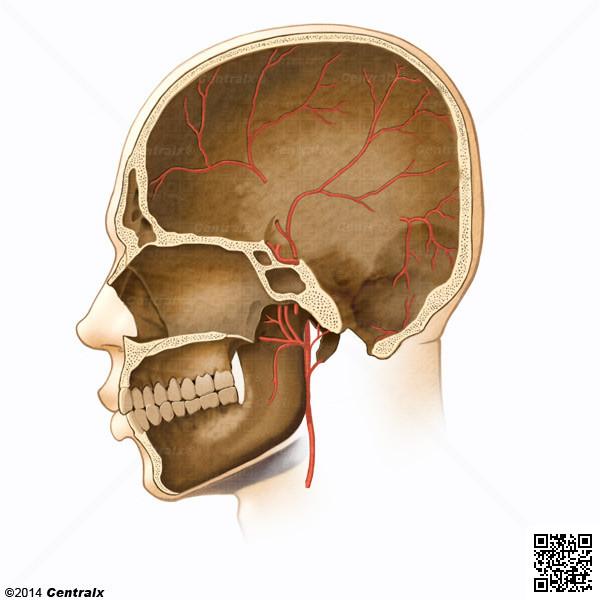 Meningeal Arteries