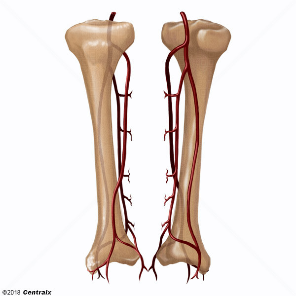 Tibial Arteries - Atlas of Human Anatomy - Centralx