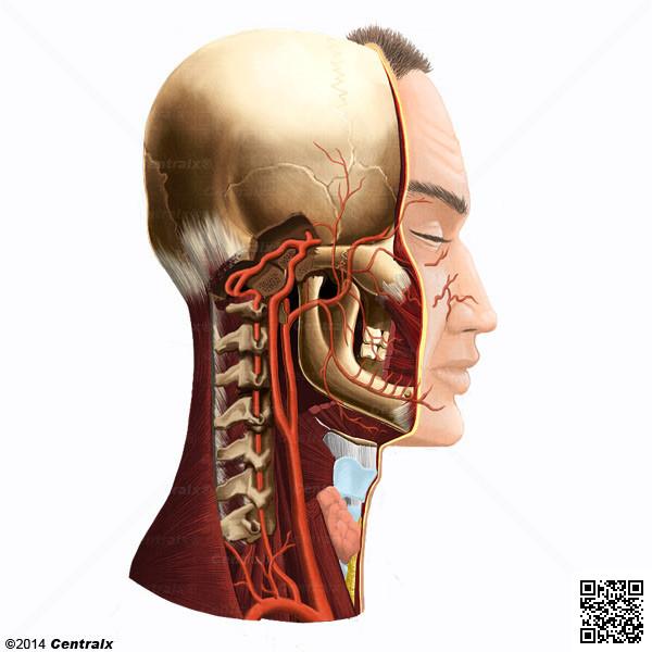 Vertebral Artery Atlas Of Human Anatomy Centralx