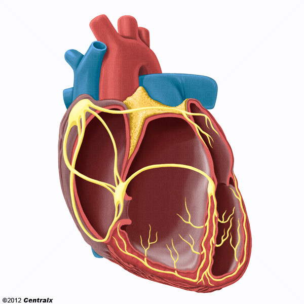 Heart Conduction System - Atlas of Human Anatomy - Centralx