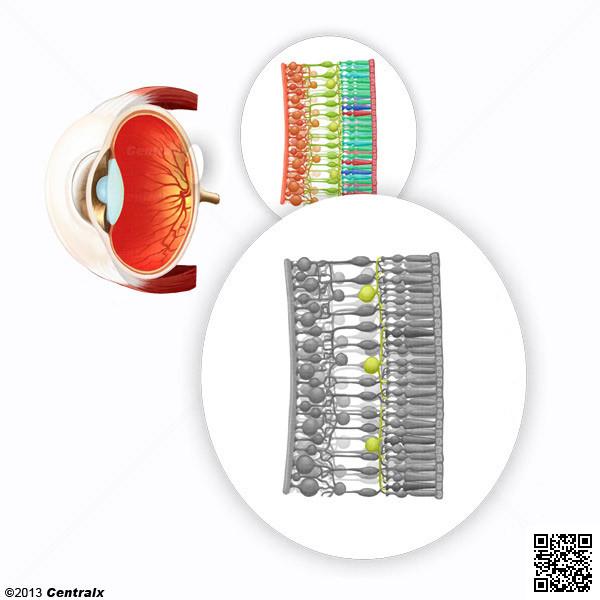 Retinal Horizontal Cells