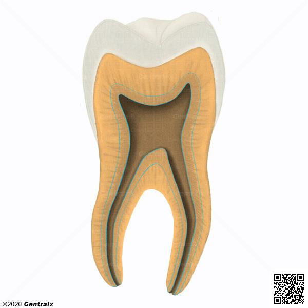 Dentin, Secondary