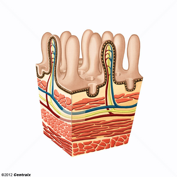 Intestinal Mucosa