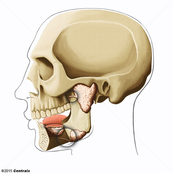 Salivary Ducts - Atlas of Human Anatomy - Centralx