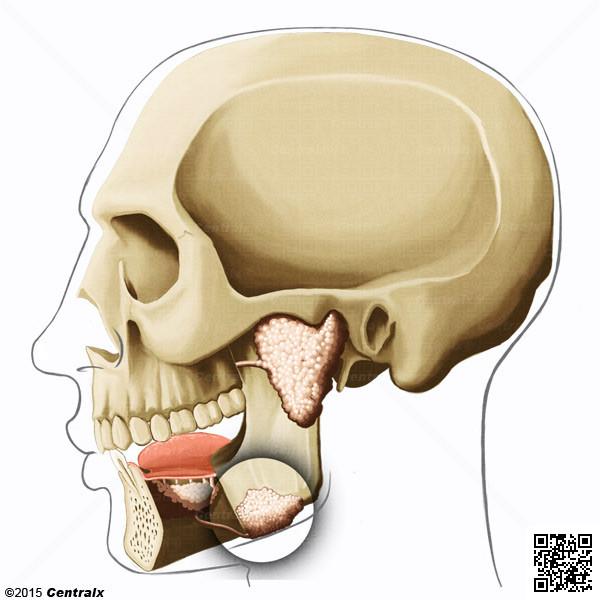 Submandibular Gland - Atlas of Human Anatomy - Centralx