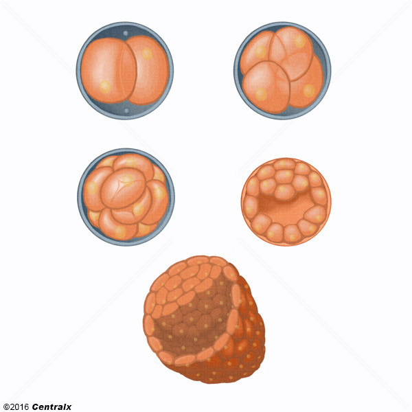 Cleavage Stage, Ovum