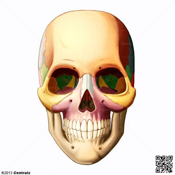 Facial Bones Atlas Of Human Anatomy Centralx