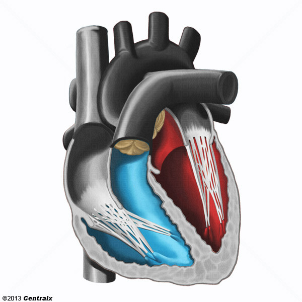 Heart Ventricles