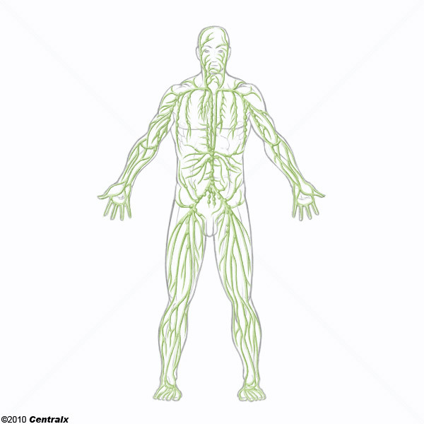 Lymphatic System Atlas Of Human Anatomy Centralx