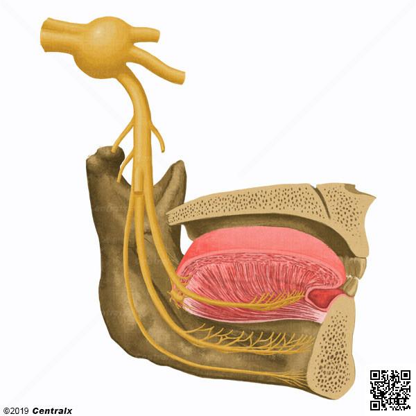 Lingual Nerve