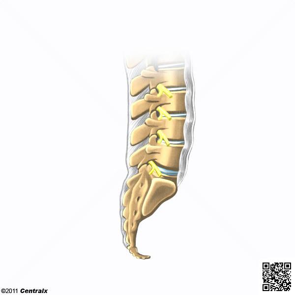 Supraspinous ligament