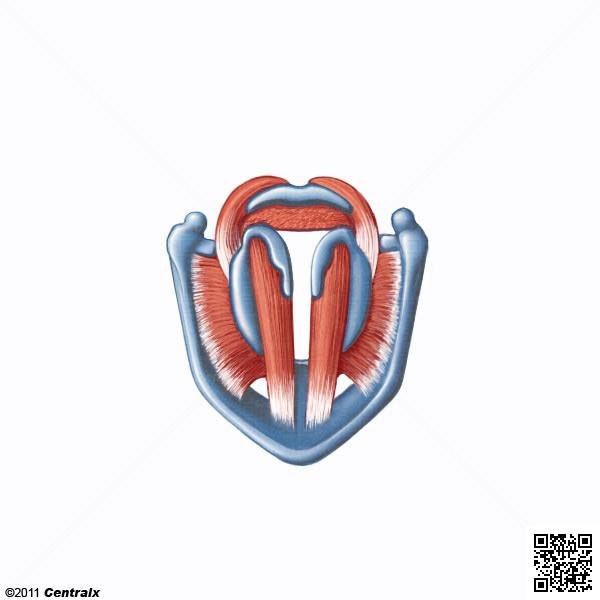 Laryngeal Muscles