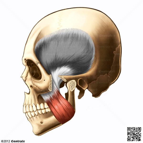 Masseter Muscle Atlas Of Human Anatomy Centralx