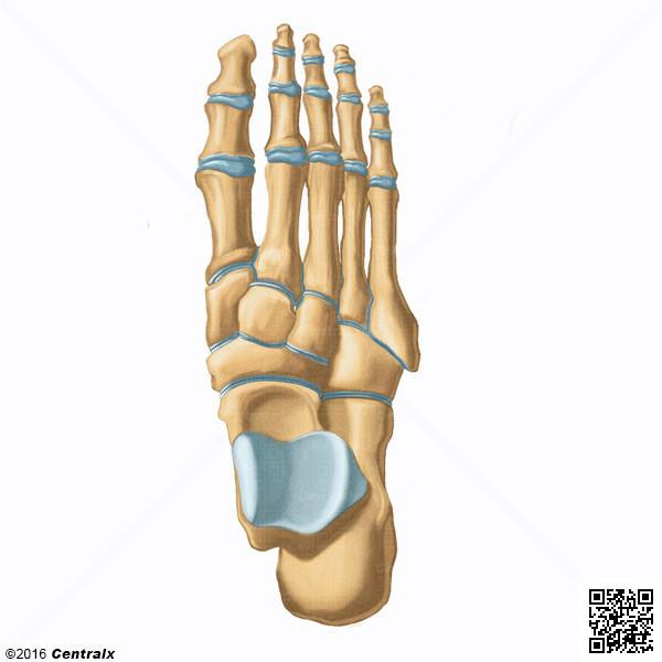 Toe Phalanges Atlas Of Human Anatomy Centralx