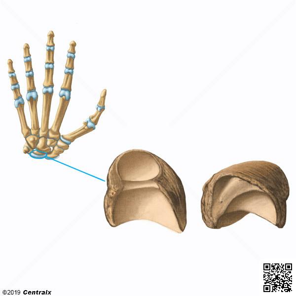 Lunate Bone