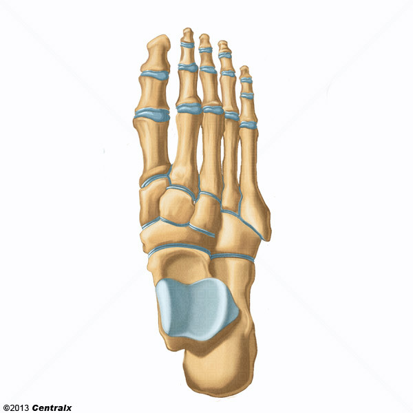 Foot Joints - Atlas of Human Anatomy - Centralx