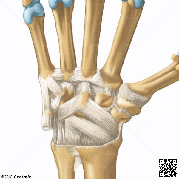 Carpal Joints