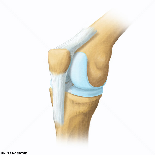 Patellar Ligament Atlas Of Human Anatomy Centralx