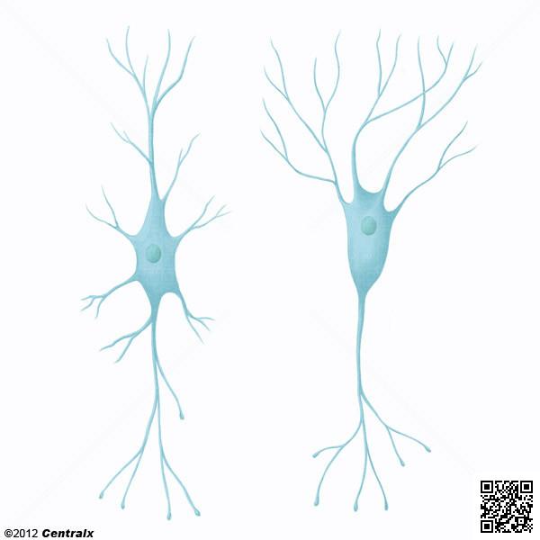 Interneurons