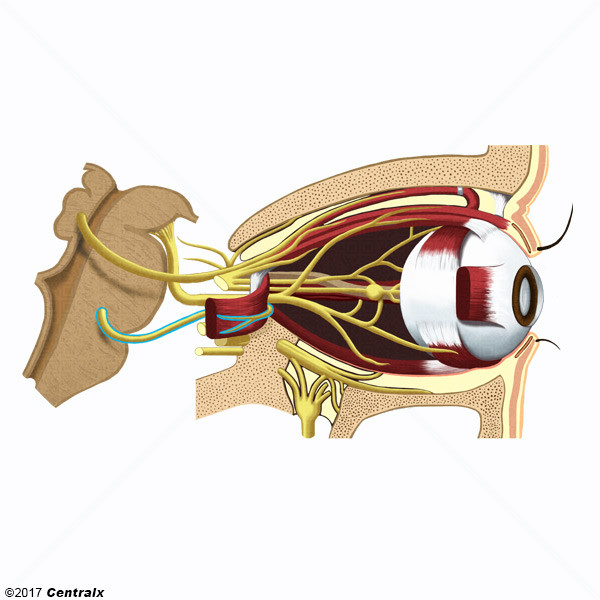 Abducens Nerve - Atlas of Human Anatomy - Centralx