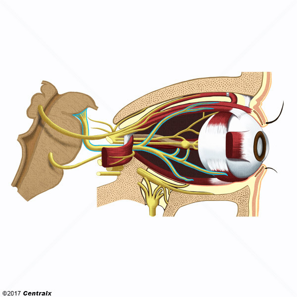 Oculomotor Nerve - Atlas of Human Anatomy - Centralx