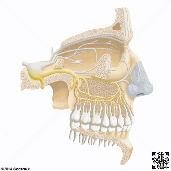 Maxillary Nerve Atlas Of Human Anatomy Centralx