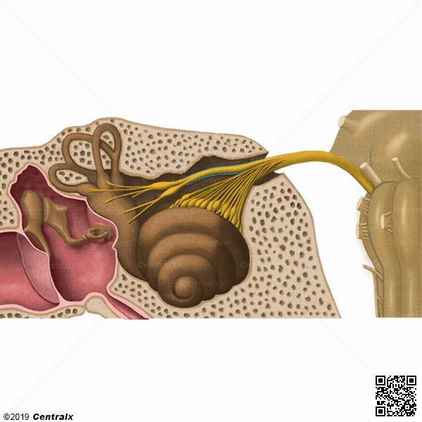 Vestibular Nerve