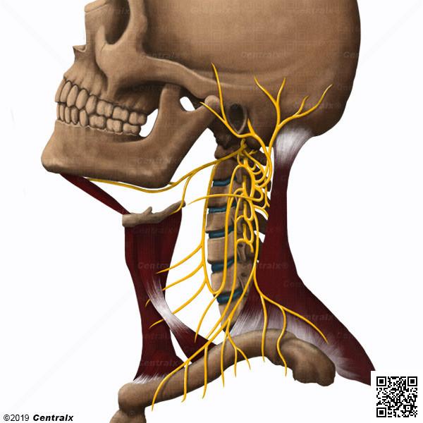 Cervical Plexus