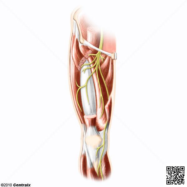 femoral nerve innervation – lickclick, Muscles