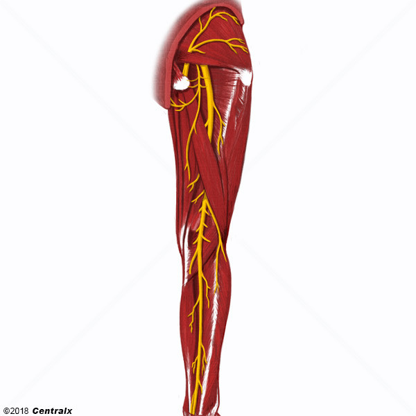 Tibial Nerve - Atlas of Human Anatomy - Centralx