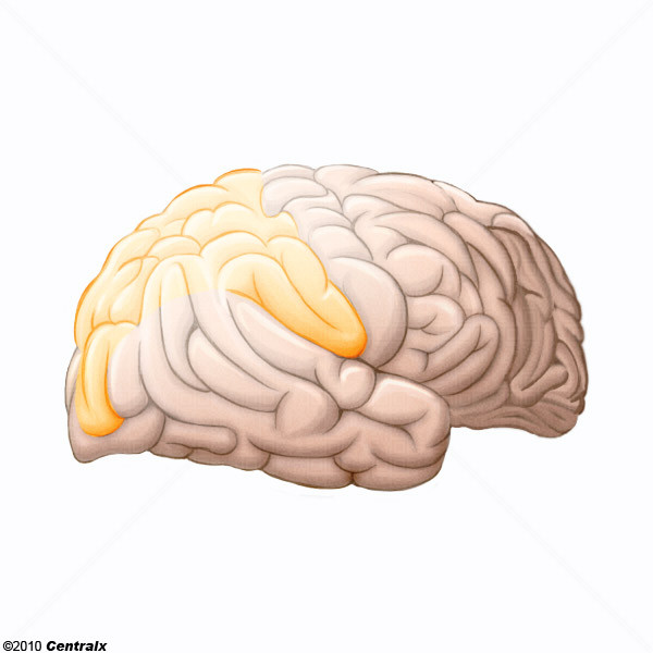 Parietal Lobe Atlas Of Human Anatomy Centralx