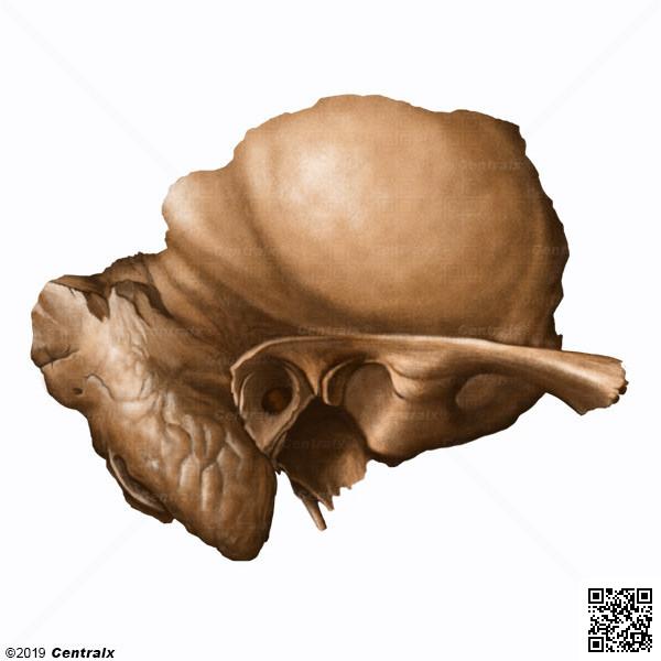 Petrous Bone