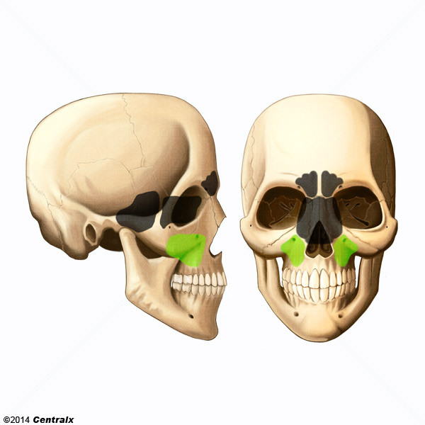 Maxillary Sinus - Atlas of Human Anatomy - Centralx