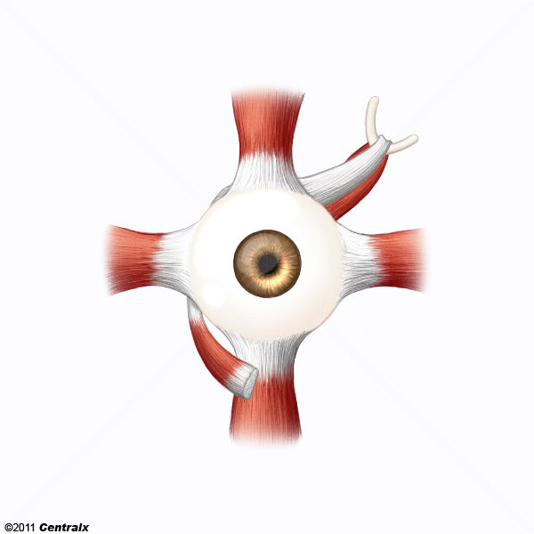 Oculomotor Muscles
