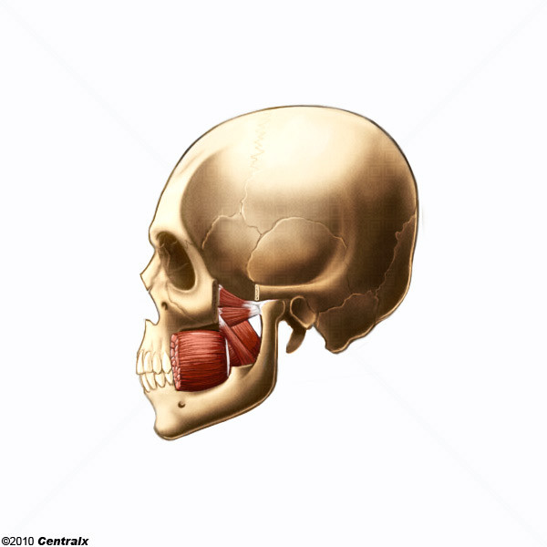 Pterygoid Muscles