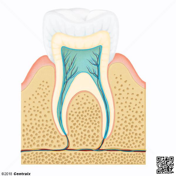 Dental Pulp Cavity