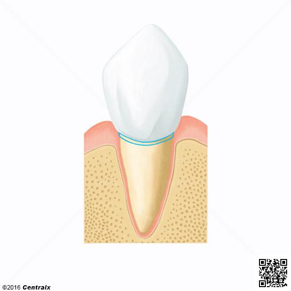 Tooth Cervix