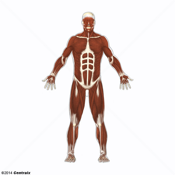 Muscle, Skeletal