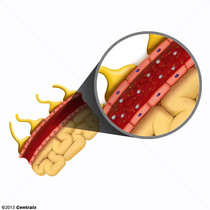 Blood-Nerve Barrier