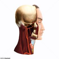 Carotid Artery, Common