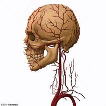 Carotid Sinus