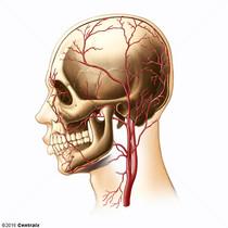Temporal Arteries