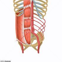 Epigastric Arteries