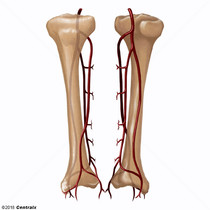Tibial Arteries