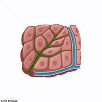Hepatocytes