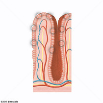 Paneth Cells