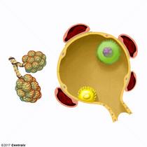 Macrophages, Alveolar