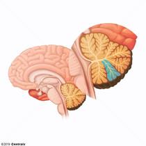 Cerebellar Cortex
